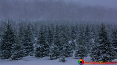 Christmas trees and heavy snow at the Purinton Maple and Tree Farm in Huntington Vermont (The Origional New England Photography) Tags: farm huntingtonvermont newengland purintonmapleandtreefarm scenicvermont scenicvermontphotography snow vermont vermontattractions vermontfarm vermontlandscape vermontlandscapes winter winterinvermont