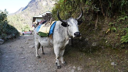 Vache sur le chemin de l'Everest - Himalaya