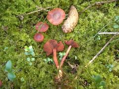 Cortinarius sanguineus / Blut-Hautkopf