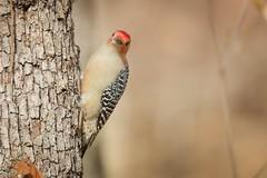 Red-Bellied Woodpecker (mnolen2) Tags: bird wildlife nature woodpecker redbellied