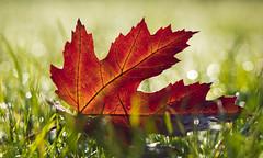 Im Licht (KaAuenwasser) Tags: ahorn blatt laub farbe farben natur herbst herbstlich gras rasen licht sonne tau wasser bokeh wiese eingefärbt kräftig jahreszeit bunt