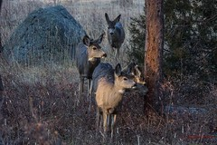 IMG_2366 mule deer does (starc283) Tags: deer doe starc283 mountains mule nature natures finest watcher flickr flicker forest flora muledeermule passionphotography