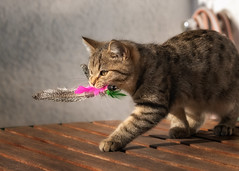 Practicing ... (FocusPocus Photography) Tags: leo katze kater cat federn feathers beute prey tabby tier animal jäger hunter