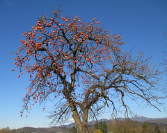 Diospyros kaki (Eli.b.) Tags: albero tree arbre cachi kaki frutta ciel cielo sky autunno fall natura natuur rami branches