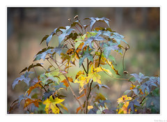 Colors of November (John Cothron) Tags: apscformat altingiaceae americansouth americansweetgumliquidambarstyraciflua americanstorax angiospermae angiosperms canoneosm6markii cothronphotography dixie eudicots galandscapephotography gainesville georgia georgialandscapephotography georgiaphotographer hallcounty johncothron lakelanier liquidambarstyraciflua m6mk2 m6mkii m62 magnoliophyta saxifragales sigma56mmf14dcdn southatlanticstates southernregion superrosids thesouth us usa usaphotography unitedstatesofamerica wahoocreekpark alligatorwood autumn bilsted bokeh closeup clouds cloudyweather cropsensor fall fallcolor flower fruitproducing handheld hazelpine lake lakeshore landscape leaf lignifiedtissues morninglight naturallight naturephotography outdoorphotography plant plantae plants redgum reservoir satinwalnut starleavedgum tracheophytes vascularplants water windpollinatingtrees 34212m6ii191129coweb1212019 ©johncothron2019 colorsofnovember