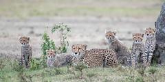 Cheetah family (tickspics ) Tags: africa cheetah maranorth kenya acinonyxjubatus felidae felinae iucnredlistvulnerable mnc maranorthconservancy