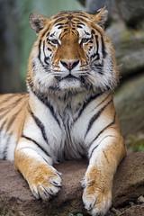 Siberian tiger posing (Tambako the Jaguar) Tags: tiger big wild cat posing portrait face looking beautiful rock stone olomouc zoo czechrepublic nikon d5 male