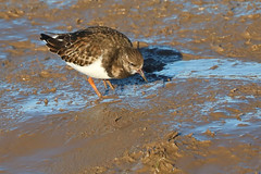 Turnstone (robin denton) Tags: turnstone bird shorebird nature wildlife donnanook lincolnshirewildlifetrust wildlifetrust naturereserve mud shoreline arenariainterpres
