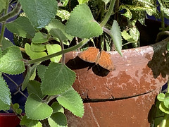 Terracotta butterfly (Ron27ald) Tags: iphone camera2 sunlight morning plants pottery butterfly ronaldsbanzon outdoor