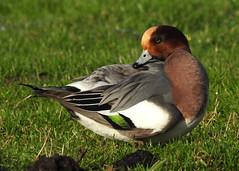 """Mareca penelope"" - smient ( male ) (bugman11) Tags: marecapenelope smient fauna nikon nederland thenetherlands haarlem nature animal animals bird birds duck ducks"