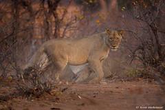 Scrambling (leendert3) Tags: leonmolenaar southafrica krugernationalpark wildlife wilderness wildanimal nature naturereserve naturalhabitat mammal africanlion ngc npc coth5