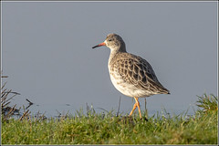 Photo of Ruff (Philomachus pugnax)