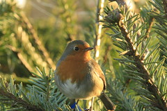Little Robin Making an Appearance right on Cue for the first Day of December (janpaulkelly) Tags: robin bird birds tree christmas december nature wildlife outdoors winter christmastree dublin itrland allotment garden closeup backlight