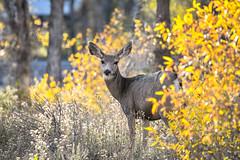 Pretty Deer (Aliparis) Tags: red 2019vacation deer fall