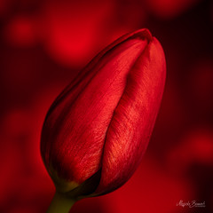 Macro Monday - Red (Magda Banach) Tags: nikond850 colors delicacy delicate flora flower macro macromondays nature plants red tulip