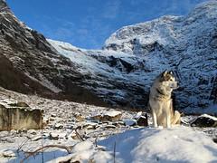 Winter and Storm, a combo he love! (storeknut) Tags: alaskan sogn fjærland norway winter glacier malamute