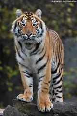 Bengal tiger - Pakawipark (Mandenno photography) Tags: animal animals dierenpark dierentuin dieren zoo ngc nature natgeo natgeographic bbcearth big cat cats bigcat bbc discovery pakawi park paka pakawipark belgium belgie