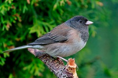 Dark-eyed Junco (ChasingNature) Tags: bird songbird perched broken tree forest darkeyedjunco fullframe defusedlight daylight vancouverislandwildlife