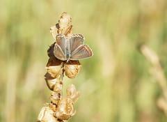 (passionpapillon) Tags: macro papillon butterfly insecte bokeh polyommatusicarus passionpapillon 2019