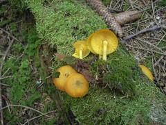 Tricholomopsis decora / Olivgelber Holzritterling