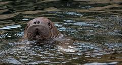 Kleines Walroß...... (Fritz Zachow) Tags: wasser walros hagenbeck hamburg tierpark deutschland eismeer