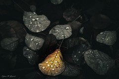 The Last Flame (BookSmellLover) Tags: leaves autumn waterdrops melancholic atmospheric jesień liście