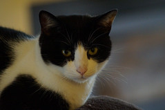 Lucky (Laocoonte) Tags: gatto cat pets europeancat