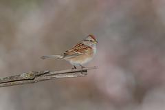 American Tree Sparrow (Joe Branco) Tags: green ontario canada macro tree grass branco photoshop joe lightroom americantreesparrow wildlifephotography joebrancophotography