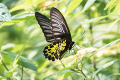 Troides amphrysus ruficolis (fabriciodo) Tags: troidesamphrysusruficolis butterfly mariposa papillon nature malaysia
