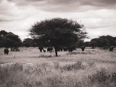 ELLIE LANDSCAPE (eliewolfphotography) Tags: elephant elephants explore endangered nature naturelovers nikon naturephotography natgeo naturephotographer natgeowild tanzania travel tarangire tarangirenationalpark animals africa african landscapes vintage vintagephotos