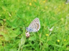 Butterfly 1895 (+1800000 views!) Tags: butterfly borboleta farfalla mariposa papillon schmetterling فراشة