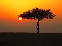 1146ex2 Acacia sunset 2 (jjjj56cp) Tags: sunset silhouette tree acacia acaciatree grasslands mara masaimara savannah dusk ke africa africansafari p900 coolpixp900 landscape nikoncoolpixp900 jennypansing kenya endofday