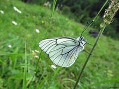 Butterfly 1896 (Aporia crataegi) (+1800000 views!) Tags: butterfly borboleta farfalla mariposa papillon schmetterling فراشة