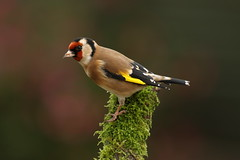 Goldfinch (Chris*Bolton) Tags: goldfinch goldfinches birds bird avian tree branch perched perching perch rathdrum wicklow ireland
