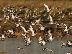 black tailed godwit (simonrowlands) Tags: blacktailedgodwit flock wader limosalimosa migrant winterplumage olympusomdem1x300mmlens14converter