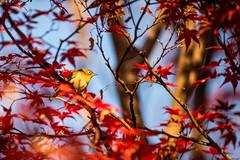 191201 Donosaka Park-04.jpg (Bruce Batten) Tags: animals autumncolors birds donosaka honshu japan locations machida parks plants reflections subjects tokyo trees vertebrates wild