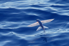 Flying Fish-7D2_8020-001 (cherrytree54) Tags: canon7dmkii sigma 150600 madagascar flying fish