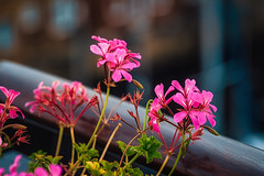 Some flowers (Мaistora) Tags: flower flowers pink red magenta green geranium closeup plant nature city urban balcony terrace roof penthouse edge fringe banister railing focus defocus sharp unsharp blur bokeh sony alpha ilce a6000 selp18105g lightroom skylum luminar flex