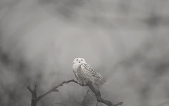 Ghost of the Arctic (agnish.dey) Tags: bird birding birdwatching birdsofprey owl snowyowl tree nature naturallight naturephotograph nikon naturethroughthelens d500 coth