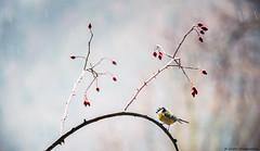 De plumes et d'épines (JimDel Photographies) Tags: oiseau bokeh bird naturephoto naturebeauty nature pluie wildlife wildlifephoto wild winter beauty biodiversité biodiversity mesange tit