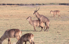 Antics On The Plain (peterkelly) Tags: digital canon 6d africa intrepidtravel capetowntovicfalls botswana chobenationalpark choberiver commonwaterbuck sex antlers horns mating