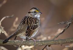 White-throated Sparrow (jt893x) Tags: 150600mm bird d500 jt893x nikon nikond500 sigma sigma150600mmf563dgoshsms songbird sparrow whitethroatedsparrow zonotrichiaalbicollis