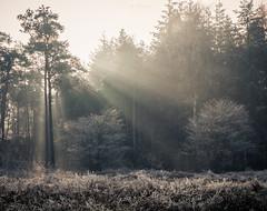Sun rays bursting through (B. Idzenga) Tags: photography landscape sunlight sun rays sunrays netherland canon 700d 2470 28 s heather sunrise misty fog