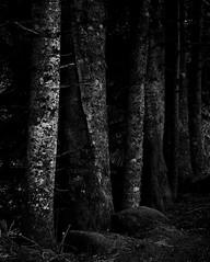 Sombre et profonde (florentmahiette) Tags: pourpre noir blanc cantal forêt arbre tronc sombre crépuscule bois