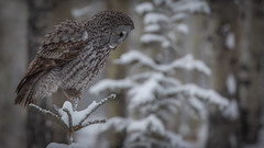 Great Gray Owl (Pauls Outdoors) Tags: