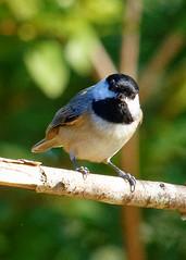 _DSC2877_DxO (Paul_1961) Tags: bird nature nikond7200 nothwestflorida sigma120400mm wildlife carolinachickadee