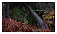 Fallen (fishyfish_arcade) Tags: gvariof35561260mm gx7 landscape longshaw lumix panasonic peakdistrict tree autumn fall