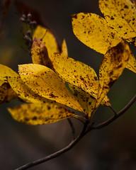 Yellow Leaves (Naturportal) Tags: panasonic dmcgx8 olympus m60mm f28 macro makro makrofotografie herbst autumn gelb yellow colors farben