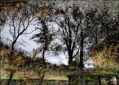 Reflection Flip... (angelakanner) Tags: canon70d tamron18400 reflection bayardcuttingarboretum longisland trees water