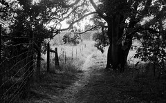 Path Into The Light (bluechromis1) Tags: jchpan400 jchstreetpan400 yashicaelectrogsn rangefinder summer troutdaleoregon 35mm analog film blackandwhite analogue selfdeveloped homedeveloped tree path fence
